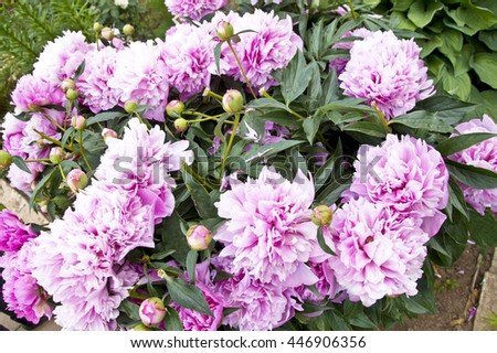 Summer background with pink big peonies and dark green leaves. Garden decorative flowers.