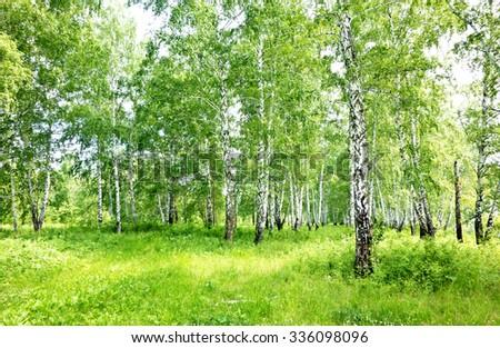 summer birch forest - stock photo