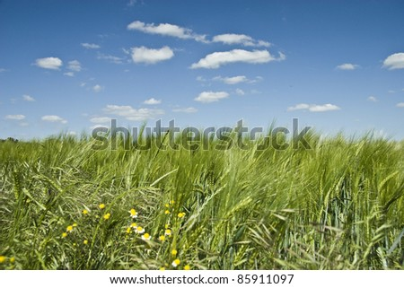 Summer Colorful Wheat Field