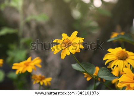summer coreopsis flowers close up - stock photo