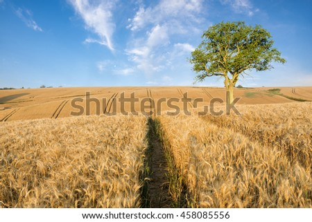 Summer crop fields, ripening wheat field,lonely tree in a field