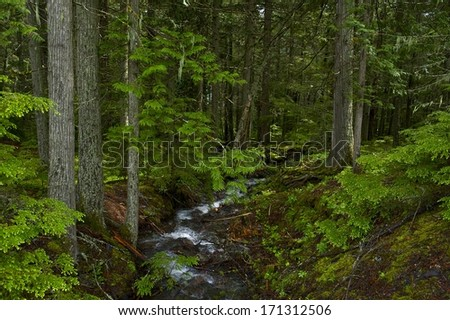 Summer Deep Montana Forest. Small Montana Mountains Creek. United States.