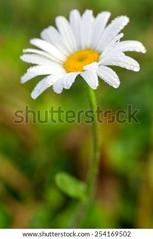 Summer field flower covered by dew. - stock photo