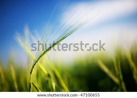Summer field of wheat - stock photo