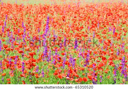Summer field with beautiful red poppy and purple flowers (nature background). - stock photo