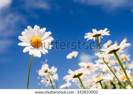 Summer field with white daisies on blue sky. Ukraine, Europe. Beauty world. - stock photo