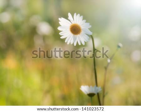 summer flower - stock photo