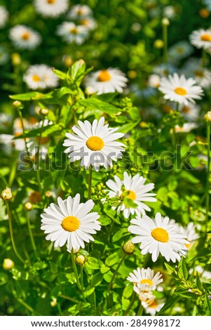 Summer flower background - white daisies on the green grass