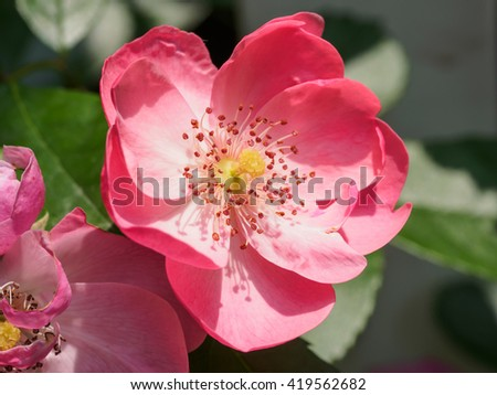 Summer flower series, red rosa chinensis.