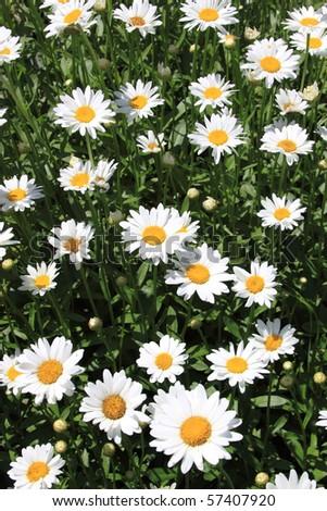 Summer Flowers (daisies) - stock photo