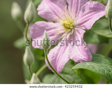 Summer flowers series, beautiful clematis flowers in the garden, focus on the bud. - stock photo