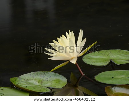 Summer flowers series, beautiful water lily in pond.
