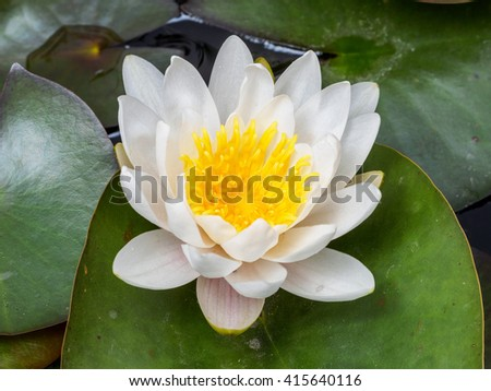 Summer flowers series, macro of white water lily.
