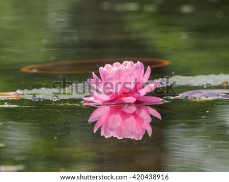 Summer flowers series, pink water lily. - stock photo