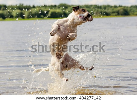 Summer fun in water with a dog: Jack Russell Terrier jumping and splashing - stock photo