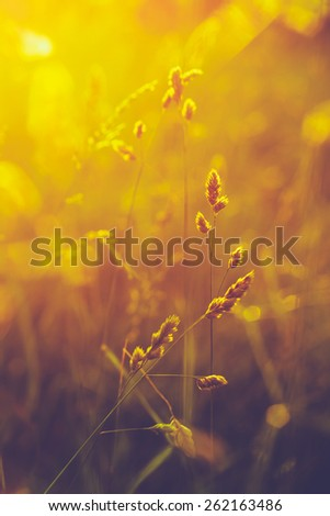 Summer Grass Meadow Close-Up With Bright Sunlight. Sunny Spring Background. Yellow And Purple Colors Toned Instant Filtered Image - stock photo