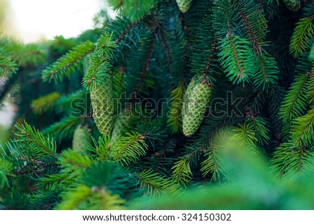 Summer green fir-tree with the big green conesSoft focus background - stock photo