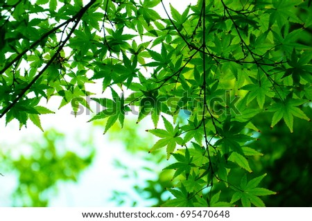 https://thumb9.shutterstock.com/display_pic_with_logo/167494286/695470648/stock-photo-summer-green-maple-695470648.jpg