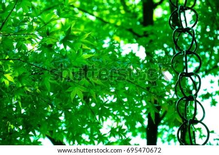 https://thumb9.shutterstock.com/display_pic_with_logo/167494286/695470672/stock-photo-summer-green-maple-695470672.jpg