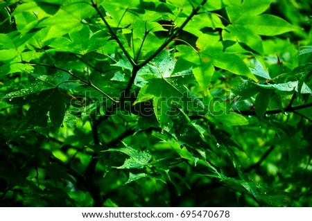 https://thumb9.shutterstock.com/display_pic_with_logo/167494286/695470678/stock-photo-summer-green-maple-695470678.jpg