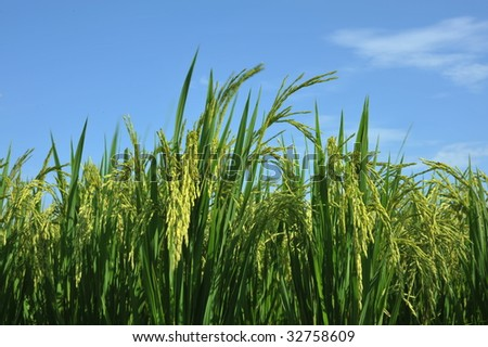 summer growth of rice