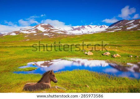 Summer Iceland. Small lake among fields of green grass. At the water resting beautiful Icelandic horse - stock photo
