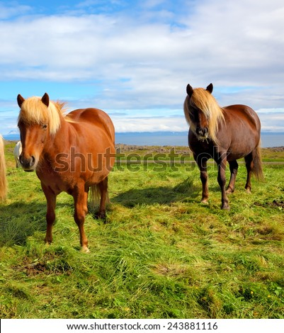 Summer in Iceland. Two Icelandic bay horses with yellow  manes on a free pasture - stock photo
