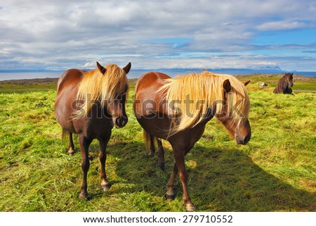 Summer in Iceland. Two Icelandic horses with yellow  manes on a free pasture - stock photo