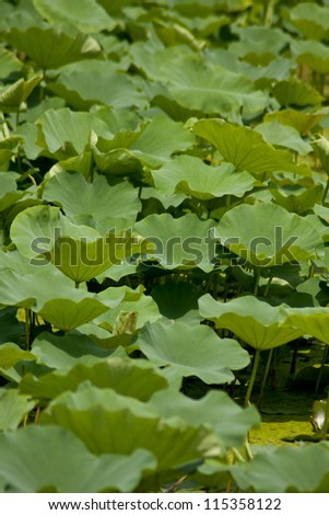 Summer?in lotus pond?lotus in full bloom