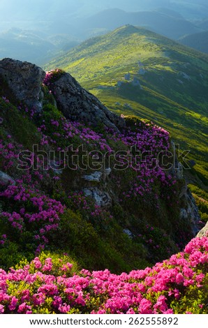 Summer in the mountains. Rhododendron flowers. Beauty in nature - stock photo