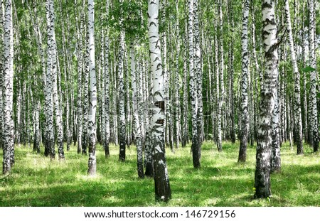 Summer july view of birch grove in sunlight - stock photo