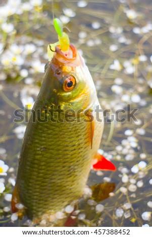 summer lake fishing Rudd fish - stock photo