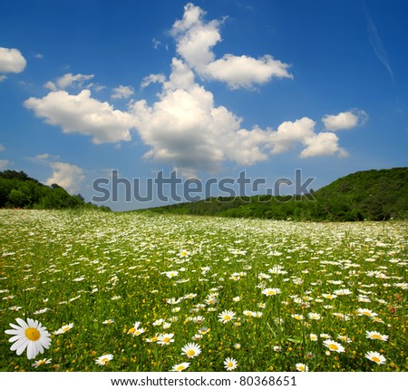 summer landscape - field of flowering camomiles - stock photo