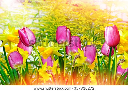 Summer landscape. flowers daffodils. tulips