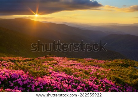 Summer landscape. Flowers in the mountains. Blooming rhododendron. Beauty in nature - stock photo