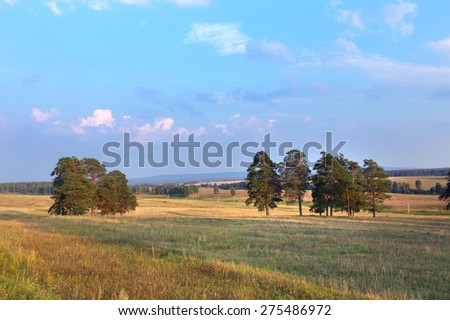 summer landscape group of pine trees in a meadow at sunset  - stock photo
