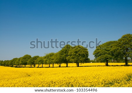 Summer landscape of canola rapeseed field in Wiltshire, UK - stock photo