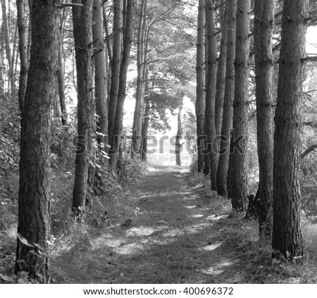 summer landscape, pine forest, forest road, black and white landscape - stock photo