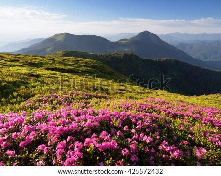 Summer landscape. Pink flowers in the mountains. Blooming Rhododendron in a glade. Beauty in nature. Sunny day. Carpathians, Ukraine, Europe - stock photo