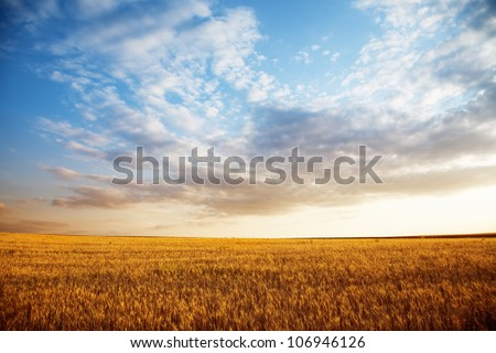 Summer landscape - wheat field at sunset - stock photo