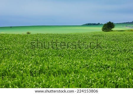 Summer landscape with blue sky and green wheat. - stock photo