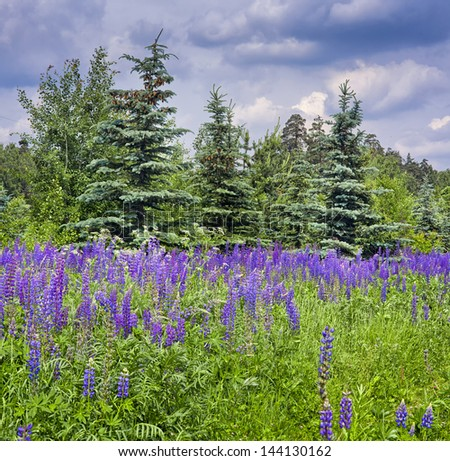 Summer landscape with field of lupines