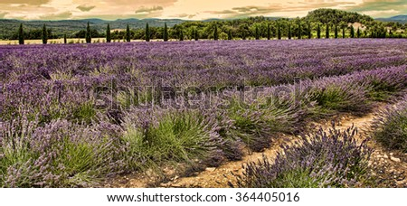 Summer Landscape with Lavender field in Provence, southern France. Filter applied with  instagram look . - stock photo