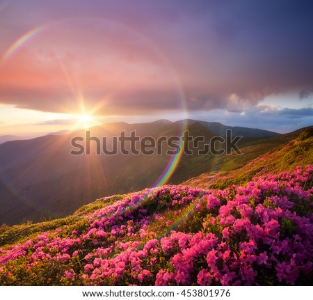 Summer landscape with pink flowers in mountains. Blooming Rhododendron on the slopes. Beautiful sunset with sunbeams. Circular rainbow. Karpaty, Ukraine, Europe. Art processing of photos. Color toning - stock photo
