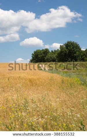 Summer landscape with wheat field and blue sky with clouds