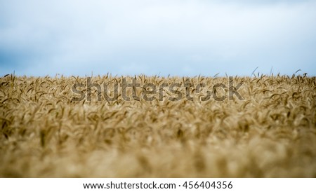 Summer Landscape with Wheat Field and Clouds in latvia