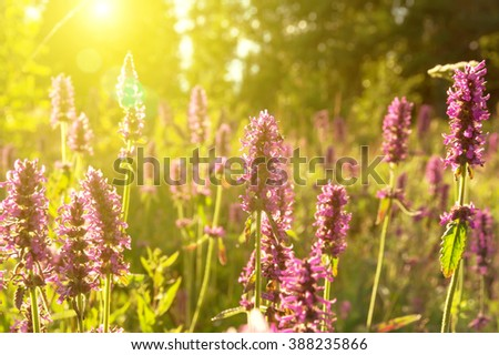 Summer landscape with wildflowers at sunset. Blooming Betonica officinalis. - stock photo