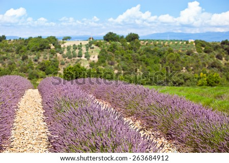 Summer lavender field in Provence, France. Shot with a selective focus