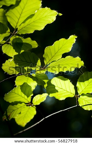 summer magnolia leaves - stock photo