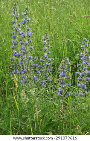 Summer meadow, Viper's bugloss, Echium vulgare - stock photo